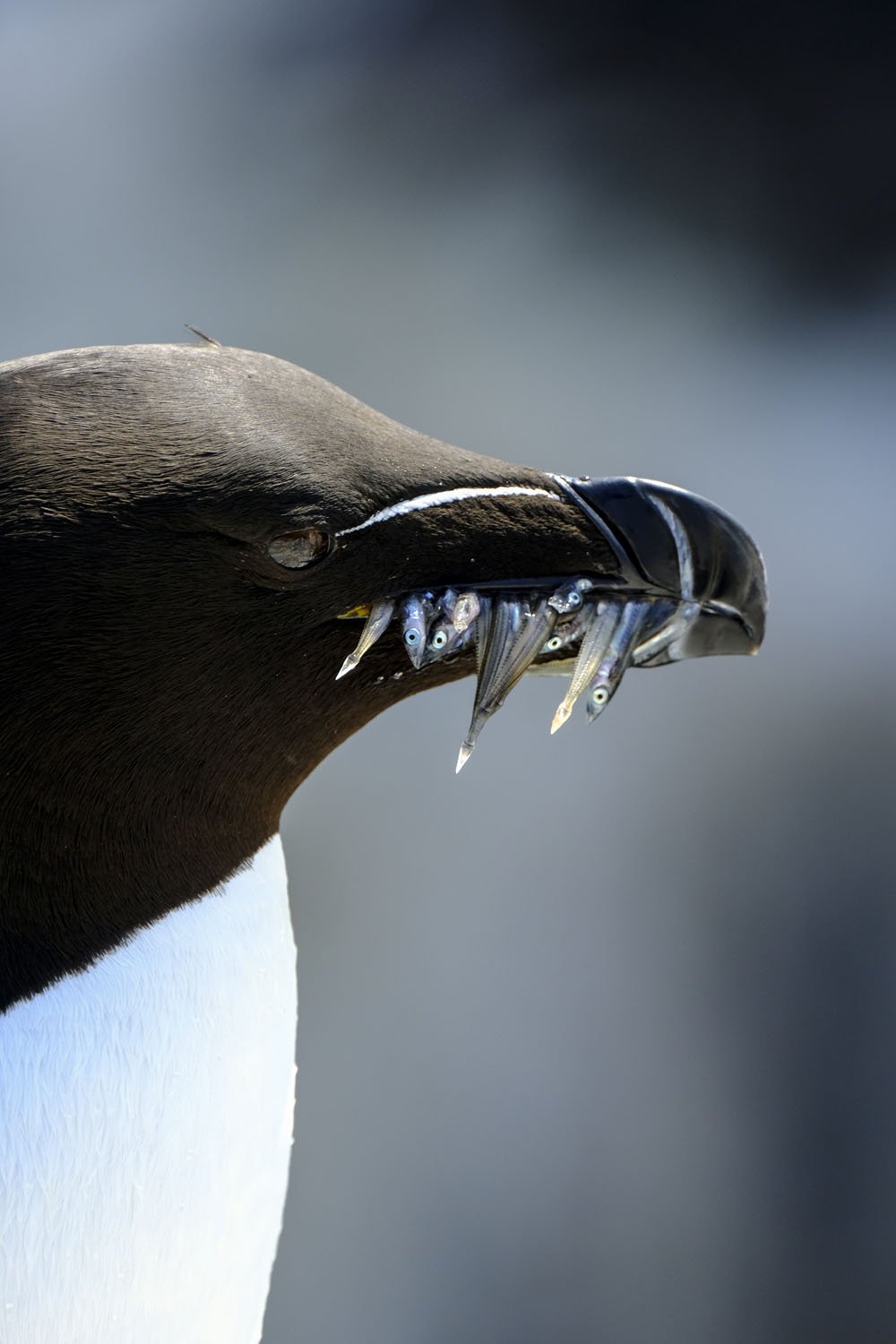 Pin Point focus – using the AF joystick to keep focus on the razorbills eye. EXIF – X-T2, XF100-400mmF4.5-5.6 R LM OIS WR, F8, 400mm, ISO800, 1/480, Velvia