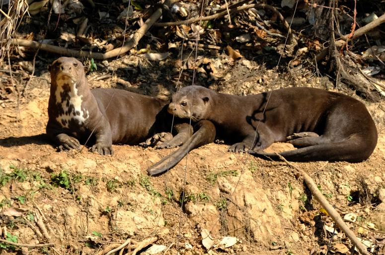 Giant otters 2.jpg