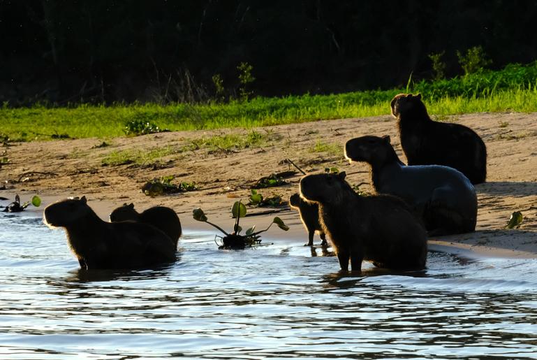 Capibara Family in evening sun.jpg