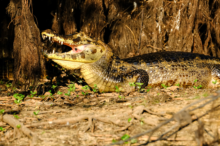 Primeval, the caiman lies amongst the roots of the trees lining the waterways of the Pantanal.jpg