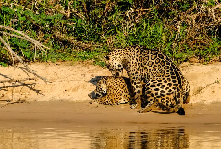 Jaguars mating.jpg