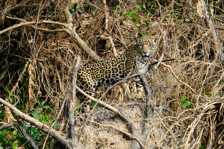 Jaguar waiting to pounce.jpg