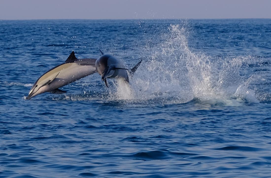 Common Dolphin .jpg
