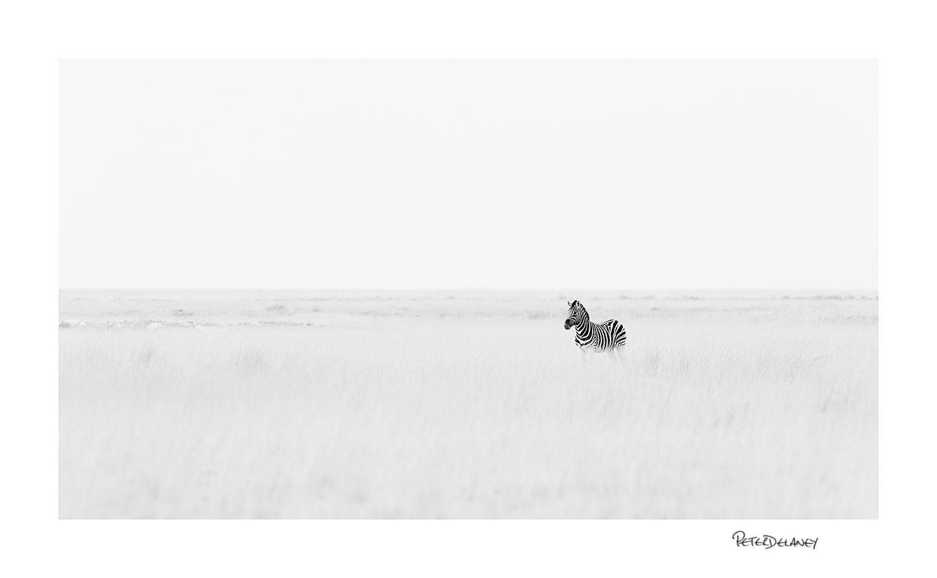Stallion Zebra On Guard