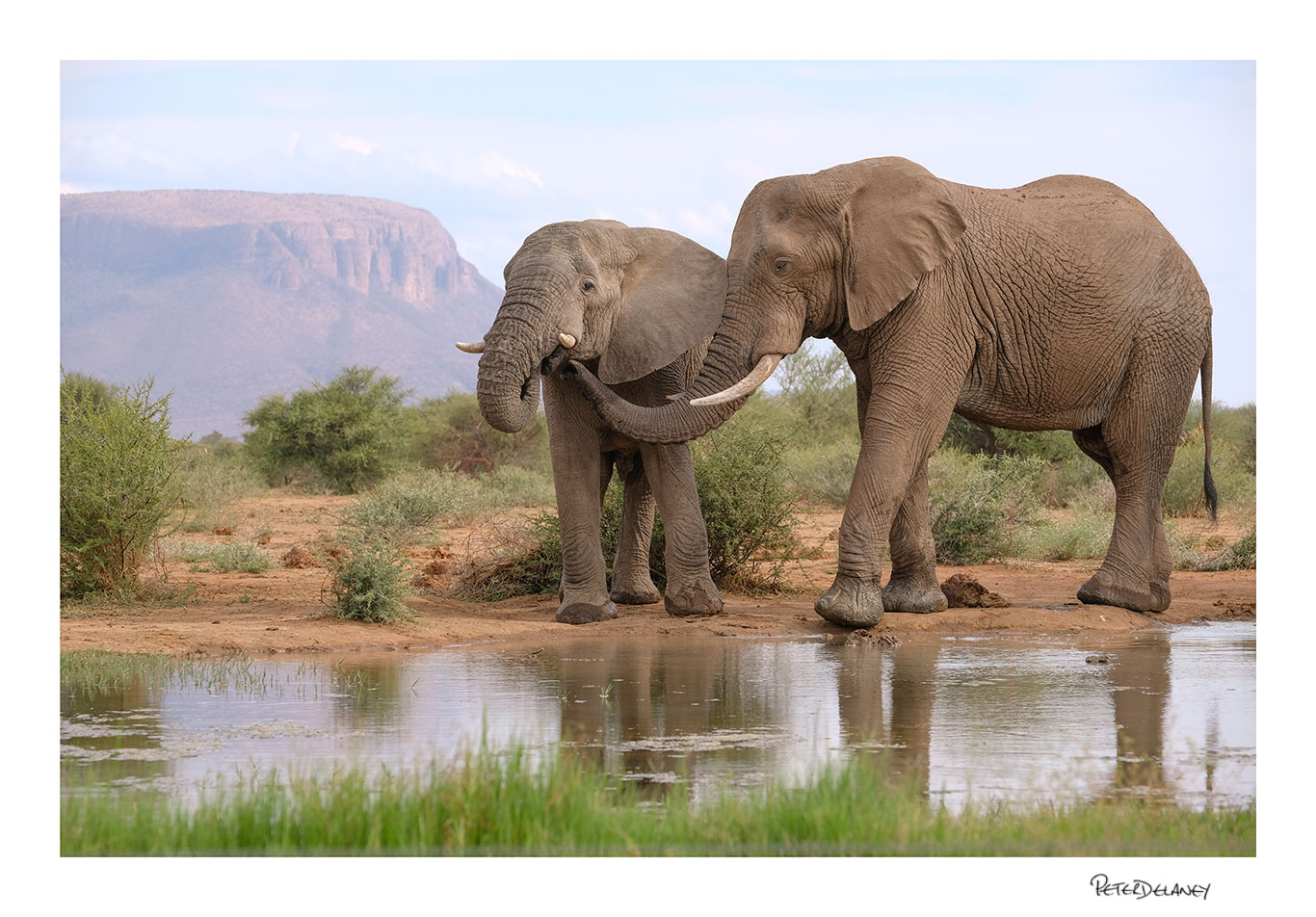 Bull Elephants Tenderness