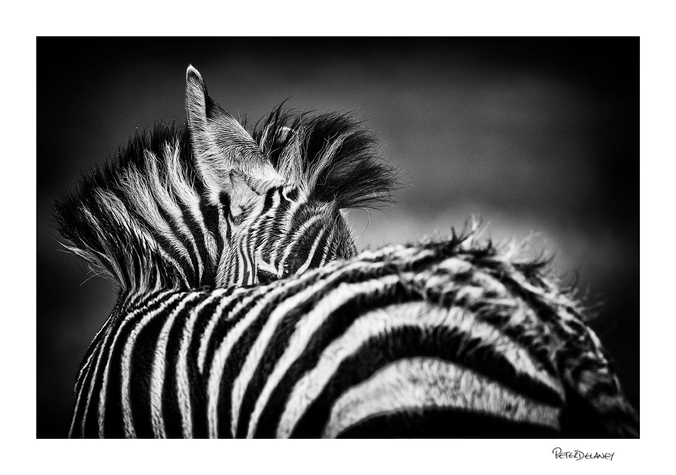 no-15-Baby-zebra.jpg