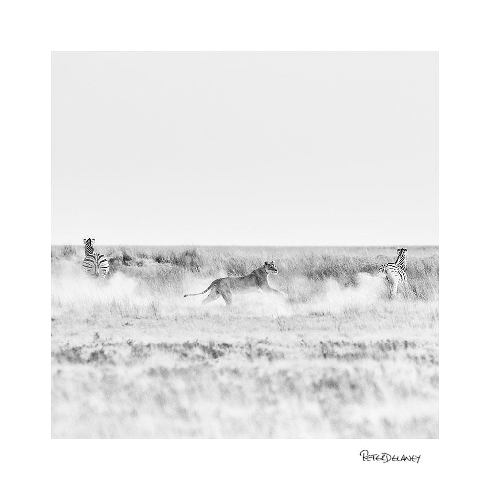 no-16-lion-and-zebra.jpg