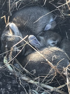 When preparing one of the beds for replanting, I discovered this nest of bunnies just below the surface. I count six...and one has her eyes open, so I'm thinking they're about 10 days old. This means they are almost old enough to be moving on! Now I know why my beet leaves continue to be devoured each evening. Mama has stayed close to her babies!