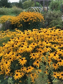Rudbeckia hirta , commonly called black-eyed-Susan, is a North American flowering plant in the sunflower family, native to Eastern and Central North America and naturalized in the Western part of the continent as well as in China.  Wikipedia