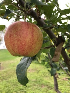 and although it looks ripe, it still needs a few more weeks.  One way to tell is by taste; another is by the color of the seeds inside.  Ripe apples will have dark brown seeds. Light seeds mean the apple still has some maturing to do.  Patience is a virtue....