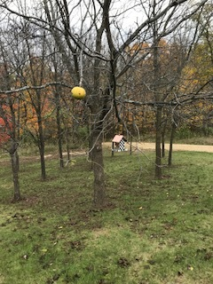 is holding on! But all of the others have fallen and these Black Walnut tress are bare. Winter is not far behind!