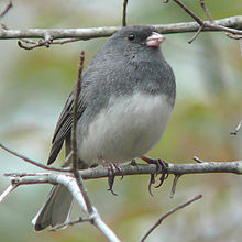"""There are literally hundreds of these Dark-eyed Juncos under our bird feeders, devouring anything that the woodpeckers let fall. Why all the sudden activity? Although they've been here since October, they seem much more active, perhaps getting ready for their April journey home to the woods of northern Canada where they will breed. Is it possible that they are the original """"snowbirds""""? ( image courtesy of Wikipedia)"""