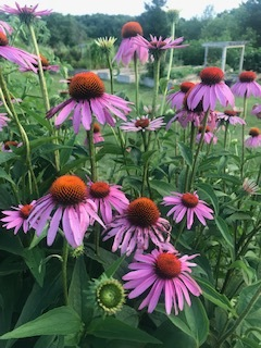 or coneflowers, are a great addition to any garden.  They're colorful, easy to grow, heat and drought resistant, and bloom into the fall.  But the real reason I intersperse them throughout the beds, is that they are tremendous pollinators!