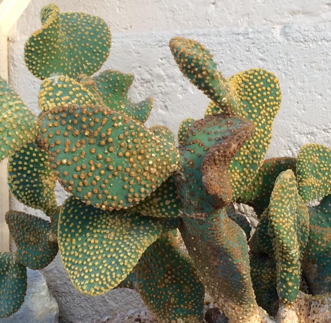 Cactus-discs.jpg