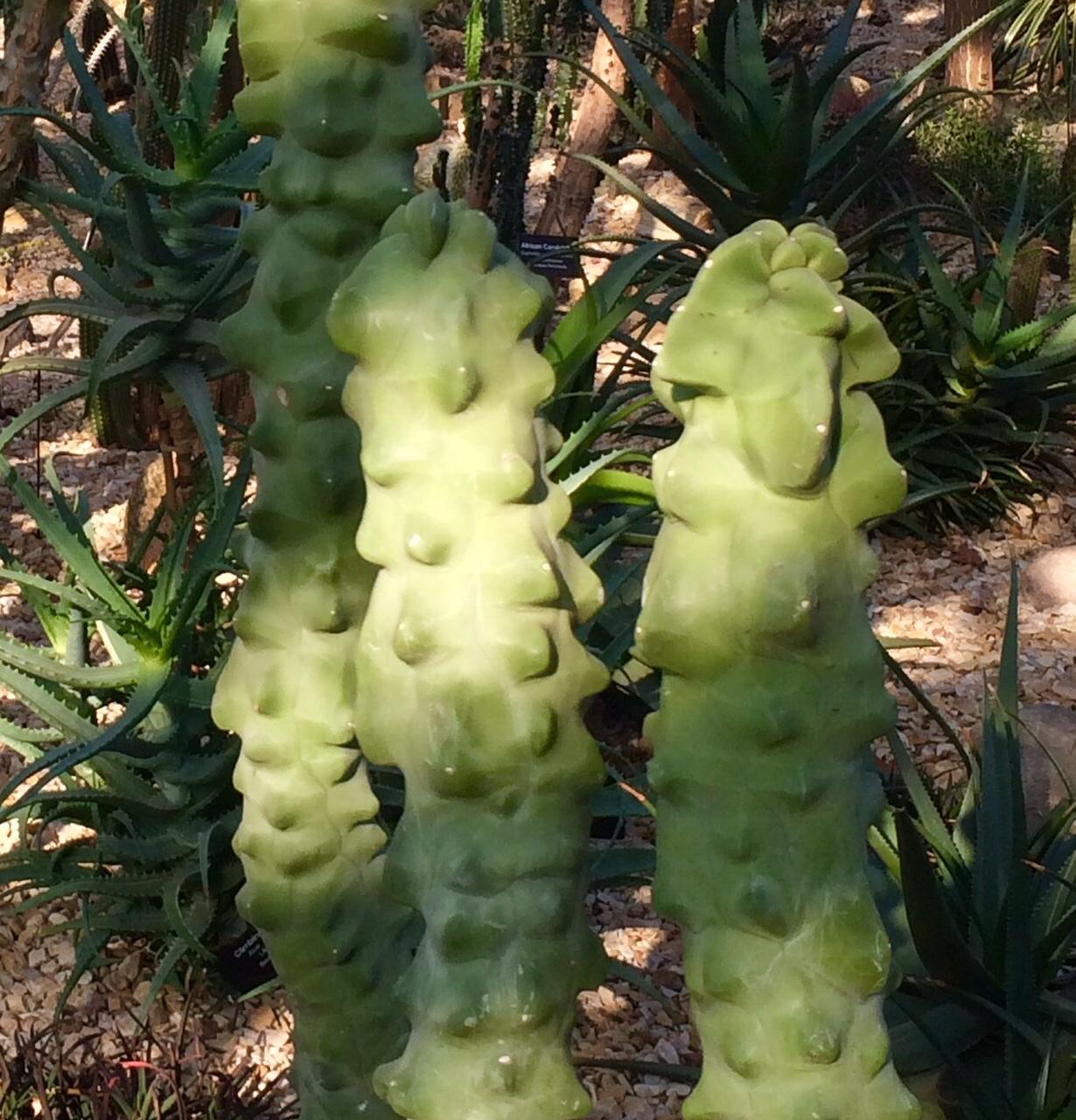 Cactus-stalk.jpg