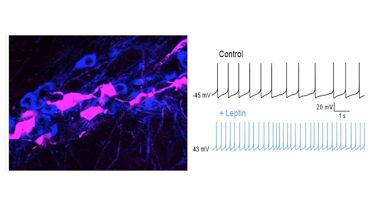 Left.    Leptin receptor (red) expression in SNc dopamine neurons (blue).    Right.    Leptin increases the spontaneous activity of SNc dopamine neurons.