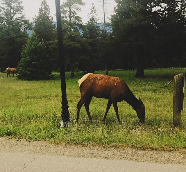 🦌 #elk #japernationalpark #wildlifephotography