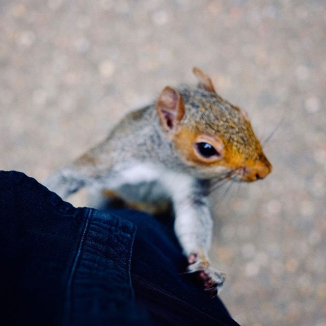 Say hello to my little friend. #squirrel #runningupmyleg #35mm #kyotogsrdens #urbanwildlife #redsquirrel
