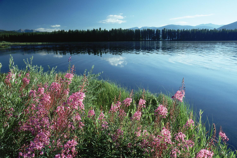 Lupine by Granby Lake
