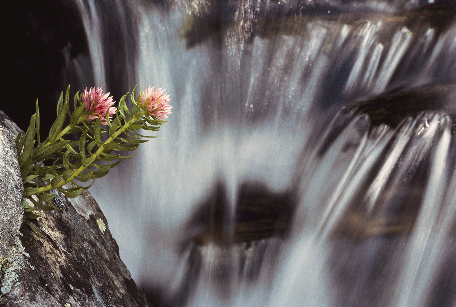 Rose Crown and Stream
