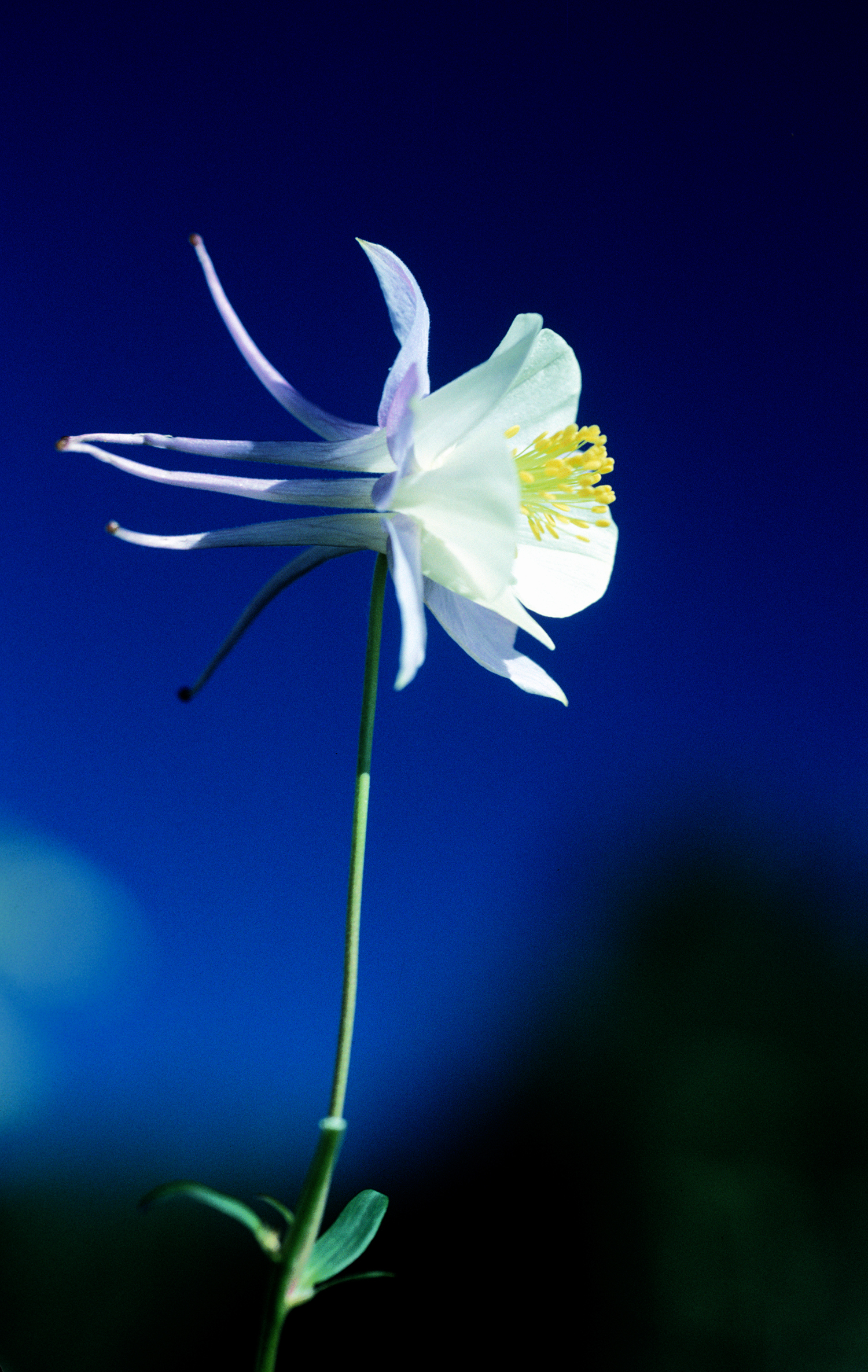 Columbine in Ouray