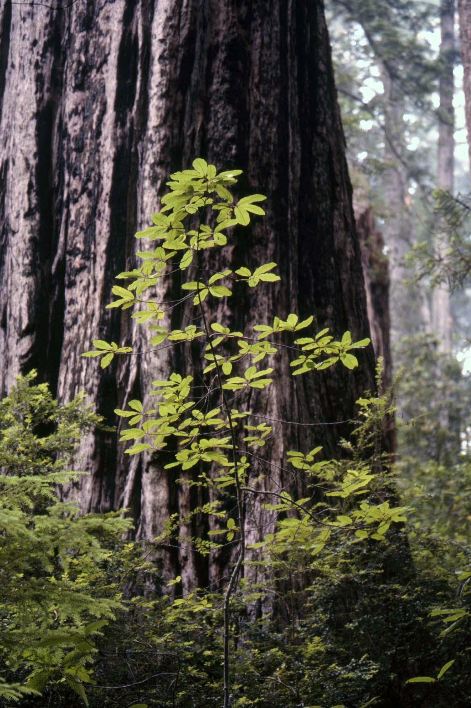 36476_Redwood-new-growth_1500px.jpg