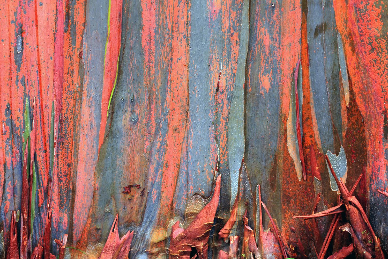 Rainbow Eucalyptus #3