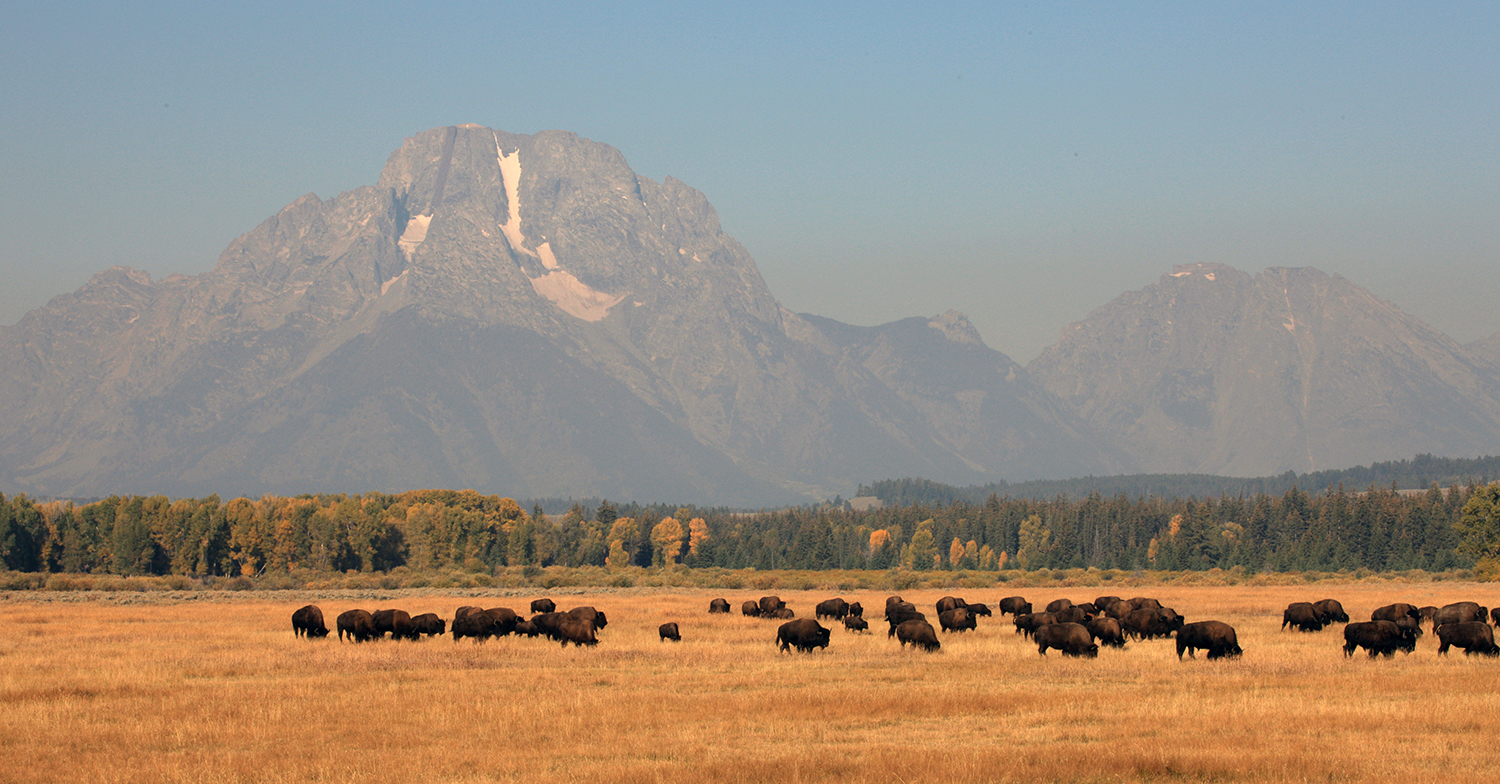 Bison and Mount Moran