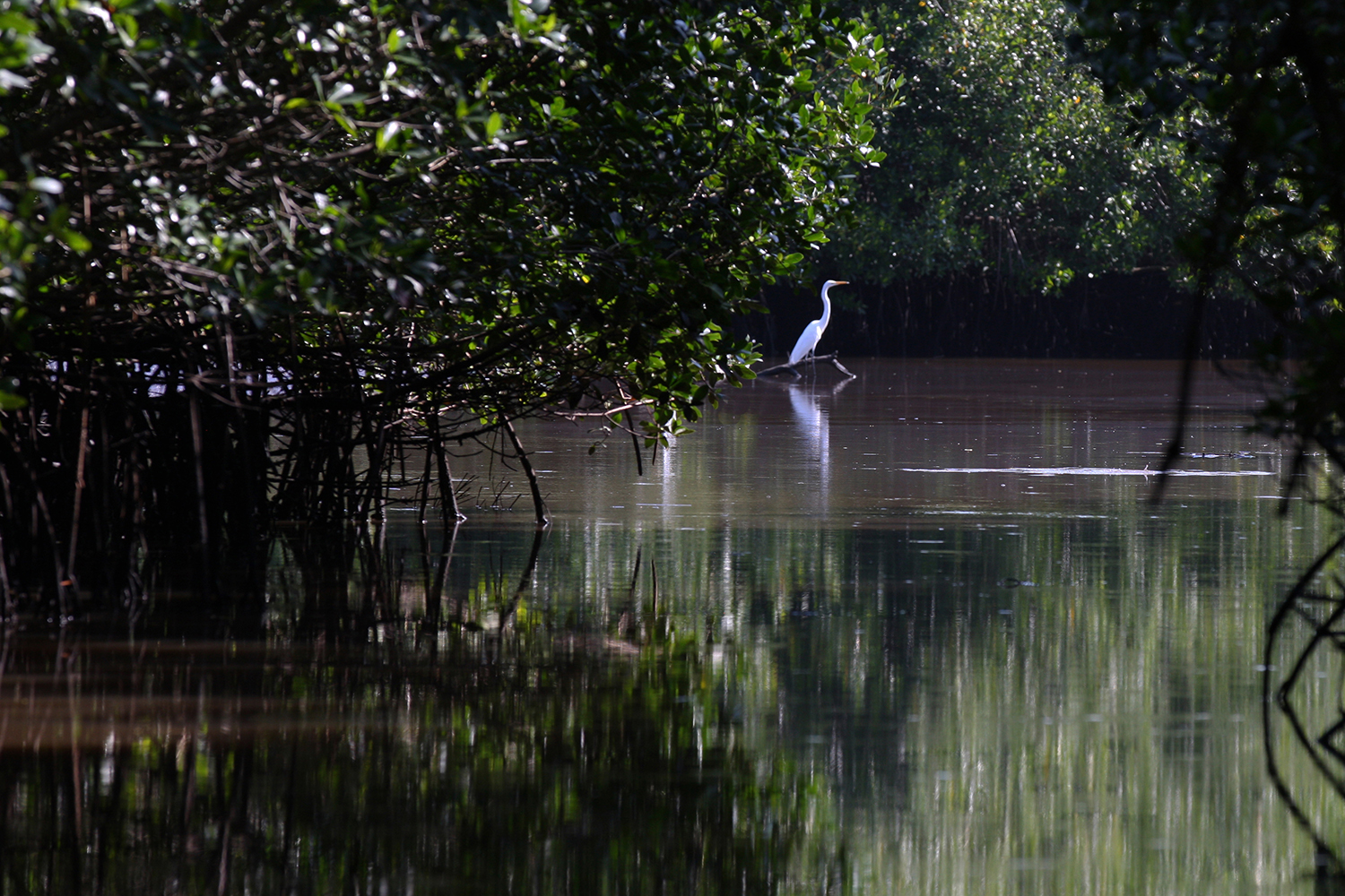 The Egret and Mangrove