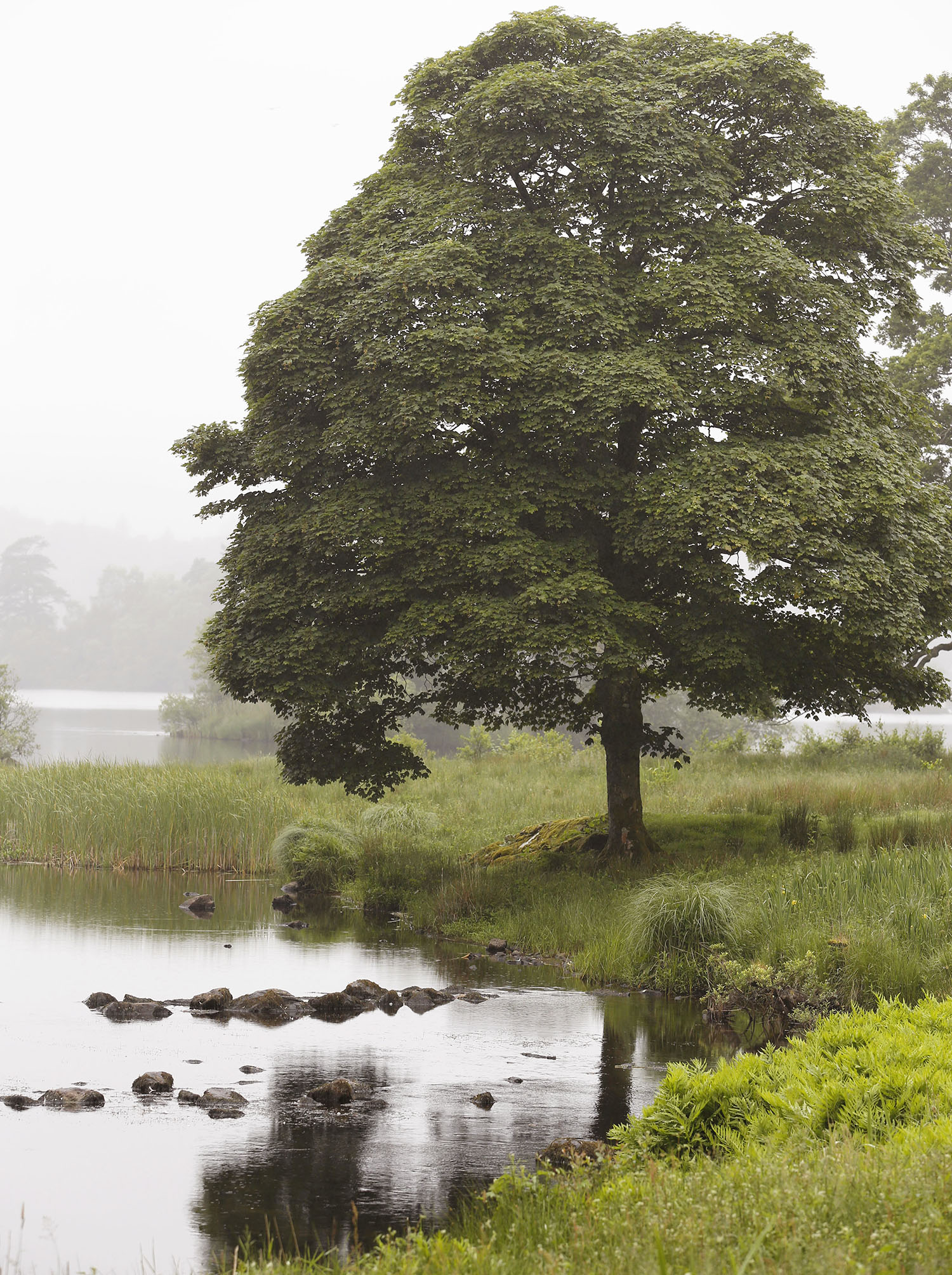 A Tree in Windermere