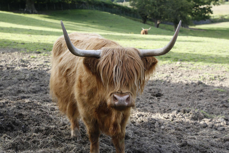 Alpha Bull