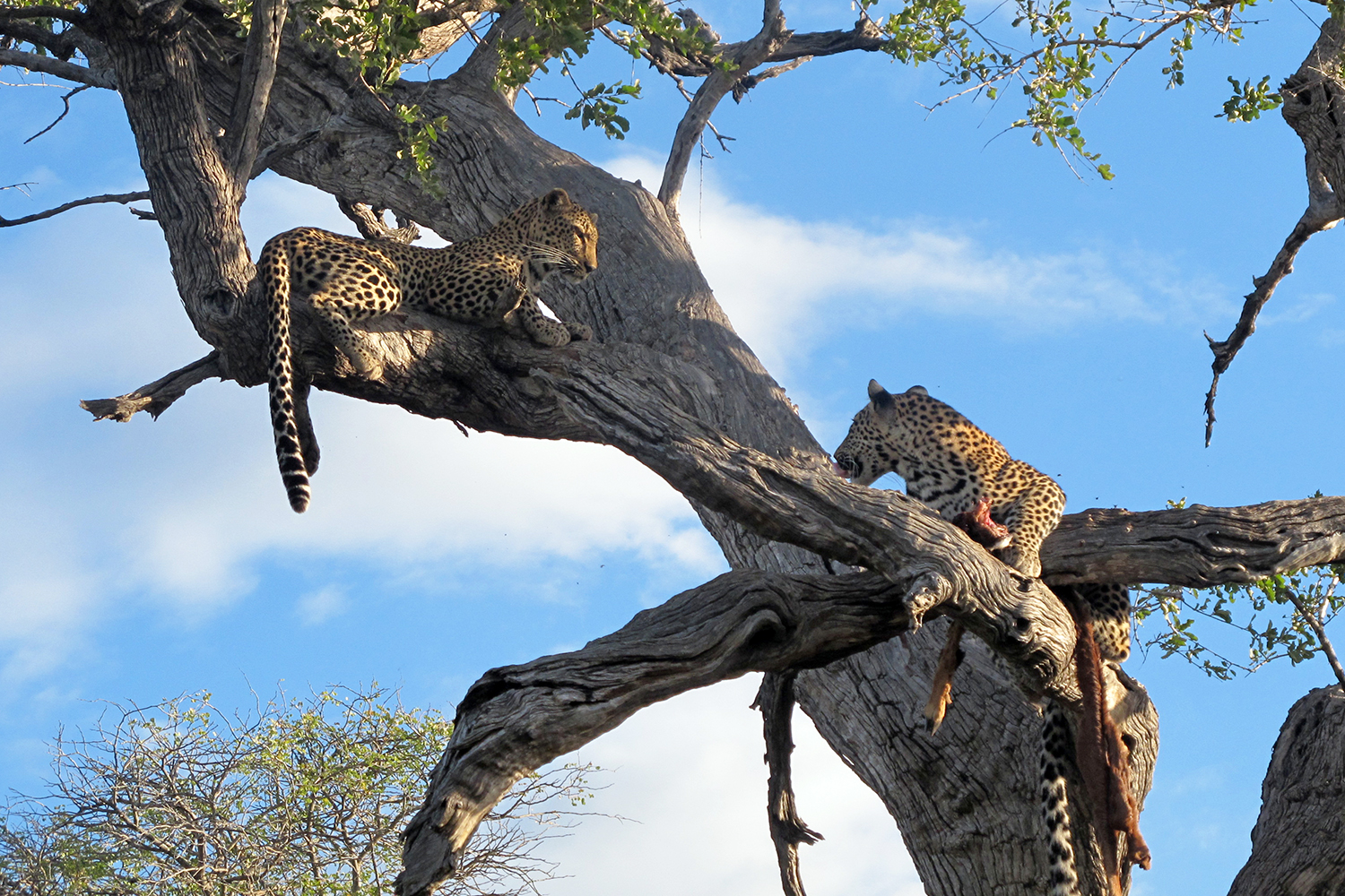 Lunch Time for Leopards