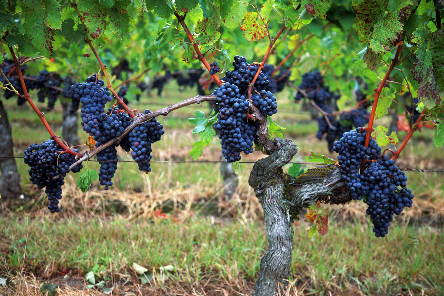 Lucky Grapes of Petrus