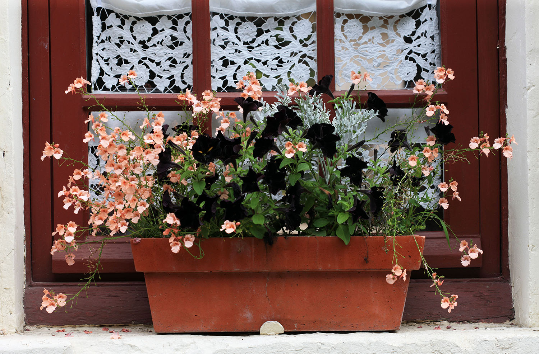 Black Pansies in Giverny
