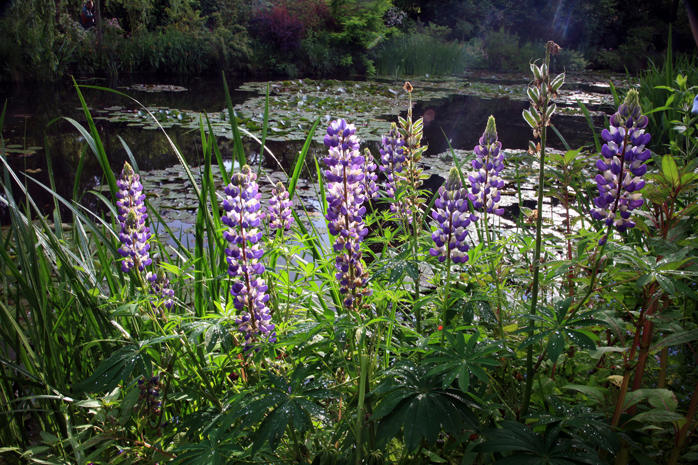 Lavender Lupine