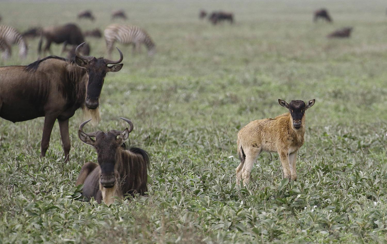 Baby Wildebeest