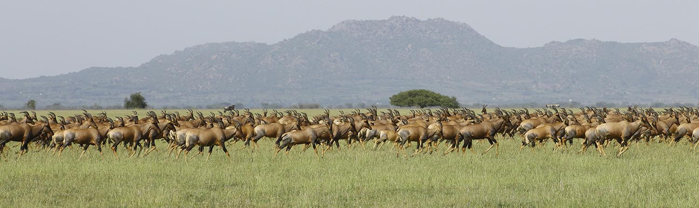 Topi Migration