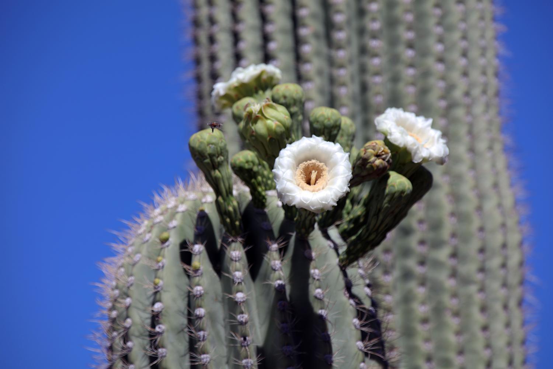 The Giant Saguaro
