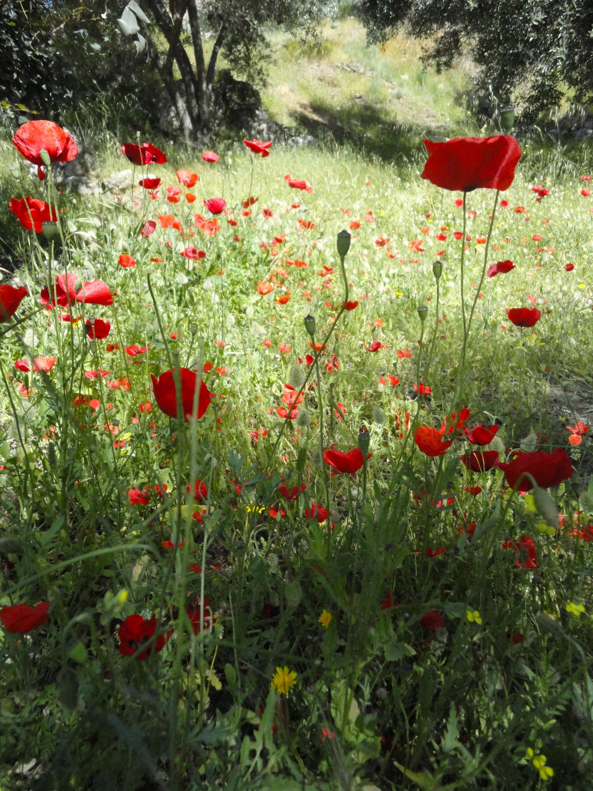 field-poppies.jpg