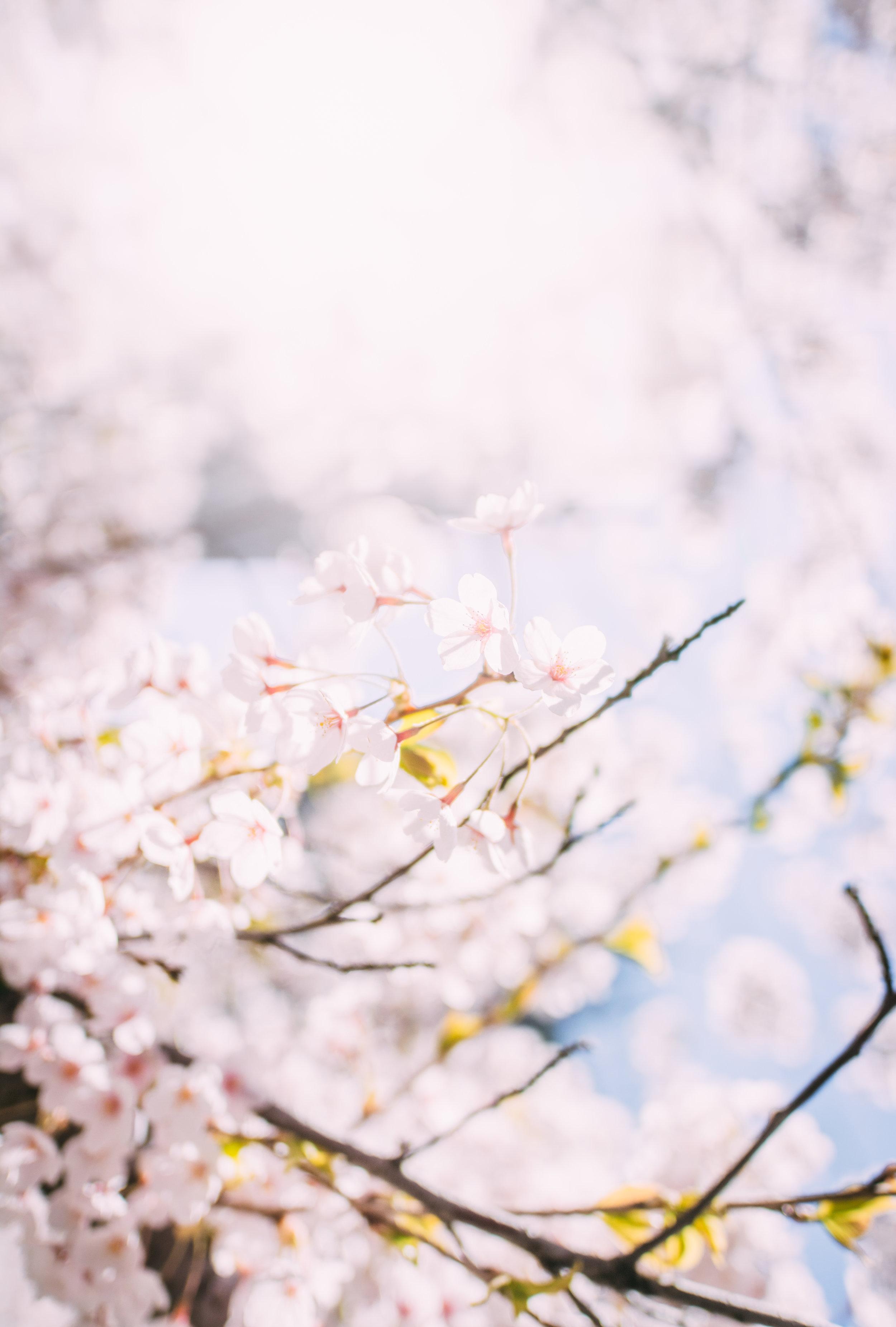 Sakura Blog-1.jpg