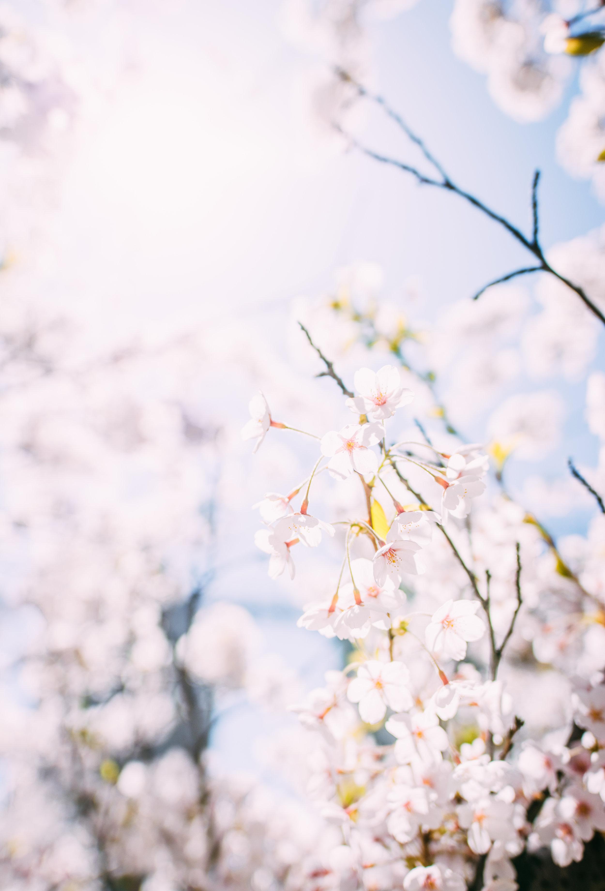 Sakura Blog-2.jpg