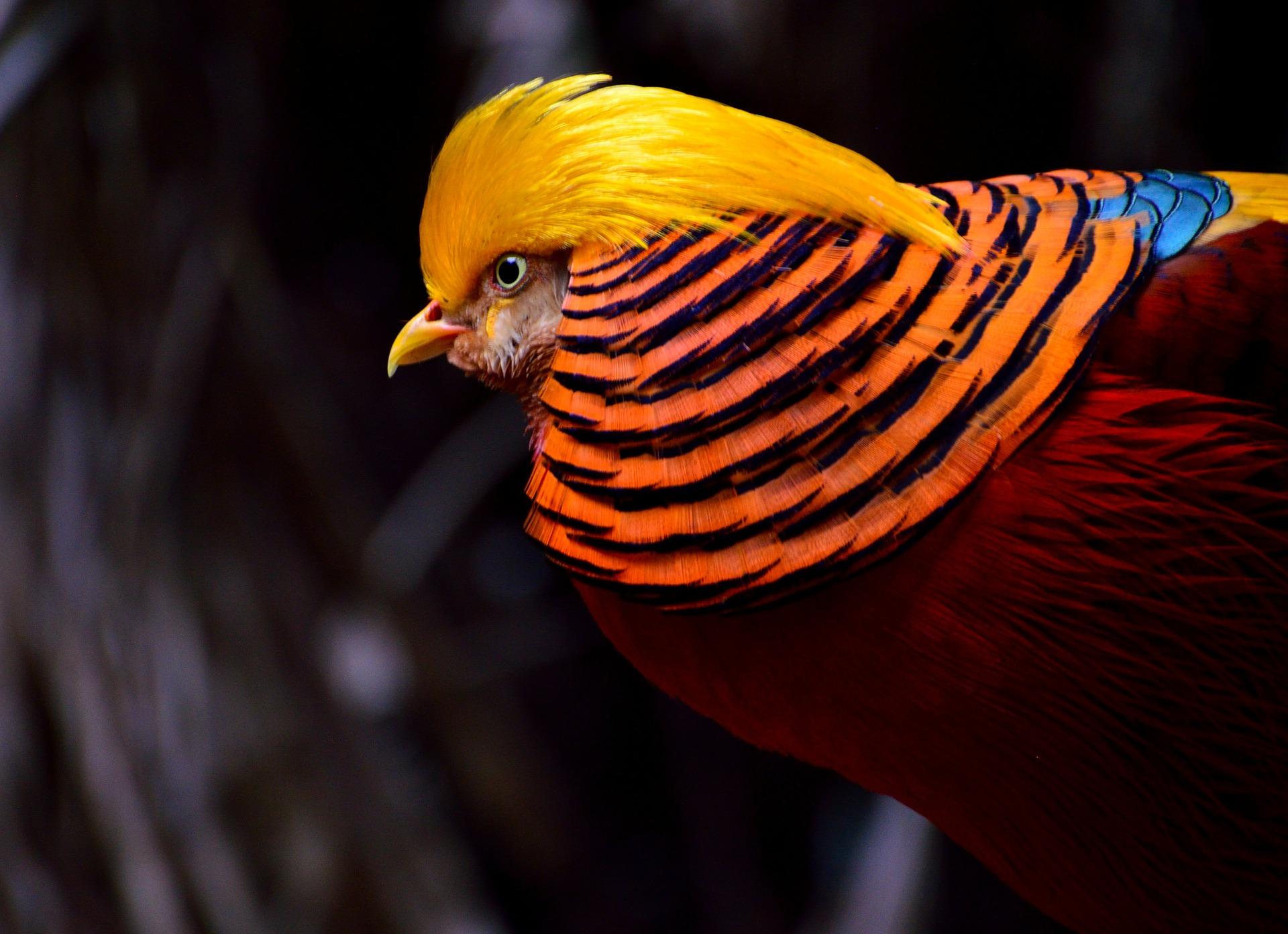 golden-pheasant-334658_1920.jpg