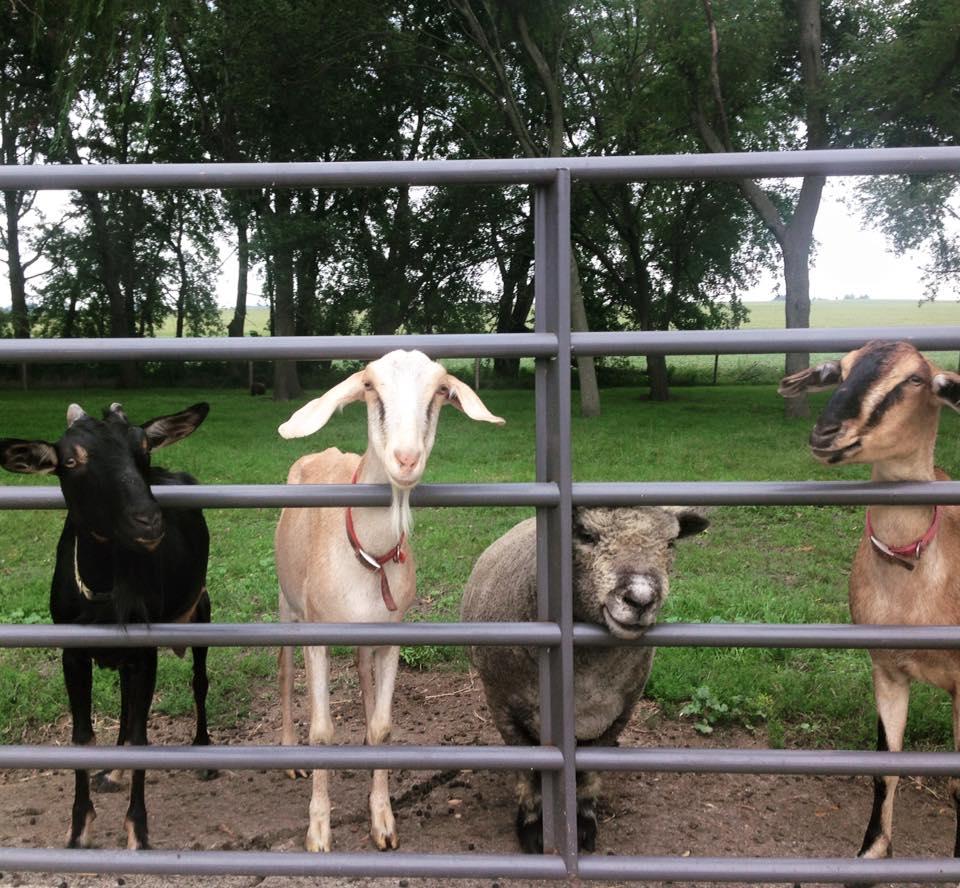 goats sheep fence.jpg