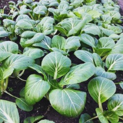 Baby Bok Choy-unknown to the average veggie consumer, but a favorite among many CSA customers. We provide unusual ingredients to expand your horizons in the kitchen.