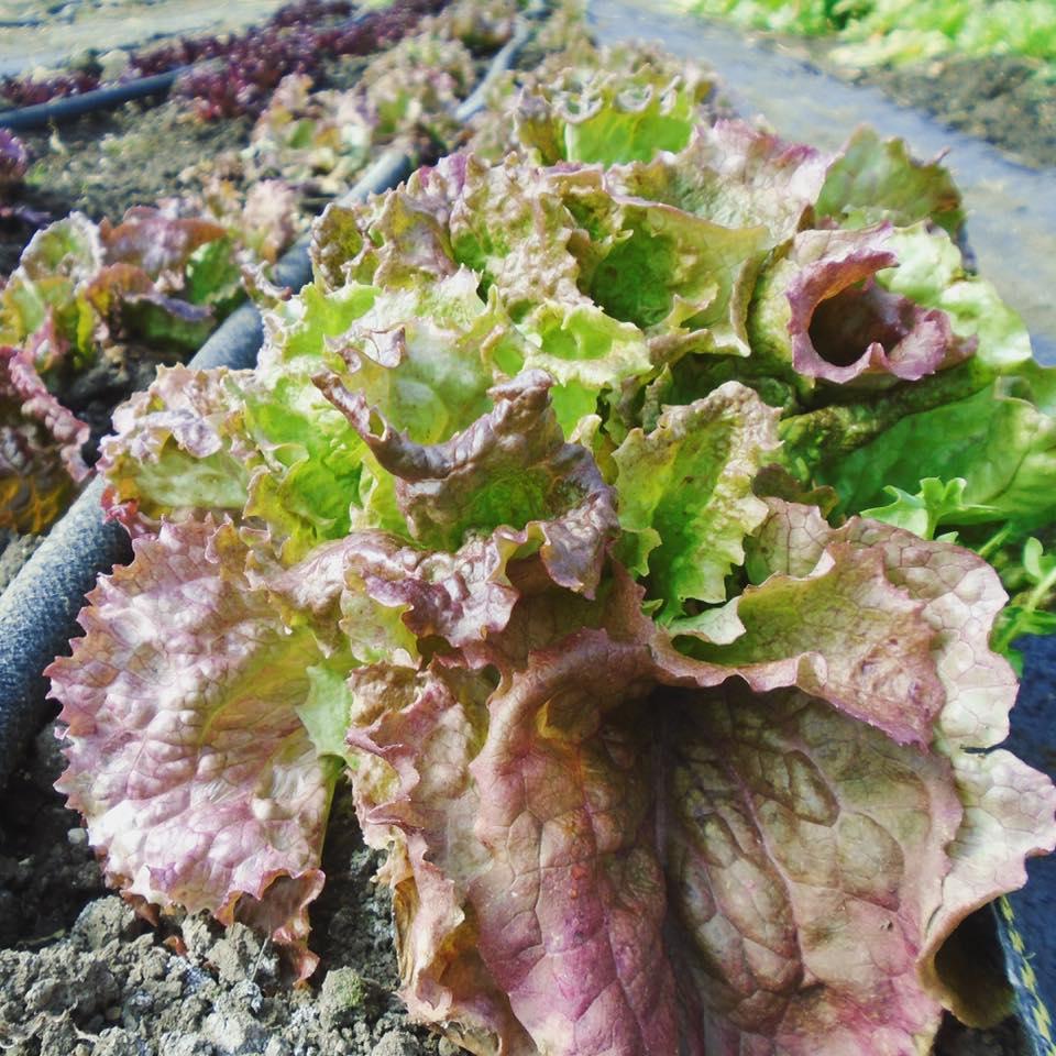 lettuce red sails.jpg