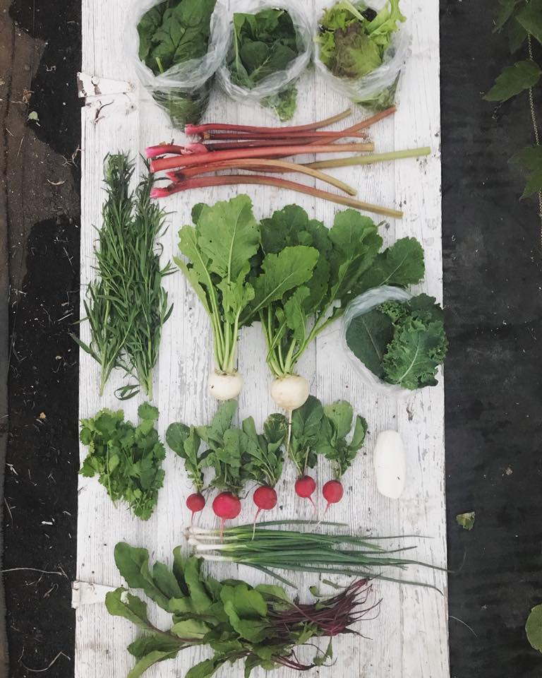 Week 2: Spinach, Smoothie Greens, Leaf Lettuce, Rhubarb, Fresh Herbs, Turnips, Kale, Radishes, Chevre, Green Onions, Beet Greens