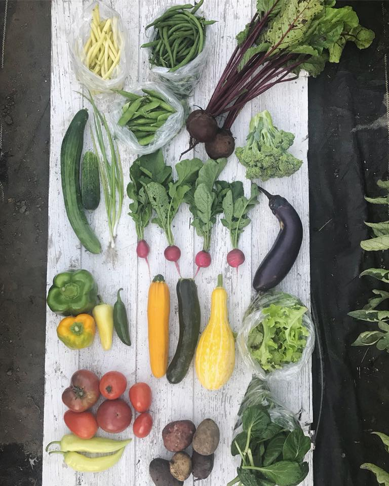 Week 9: Yellow Beans, Green Beans, Beets, Shell Peas, Cucumbers, Green Onions, Radishes, Broccoli, Eggplant, Bell Peppers, Hot Peppers, Summer Squash, Mixed Salad Greens, Tomatoes, Banana Peppers, New Potatoes, Tatsoi