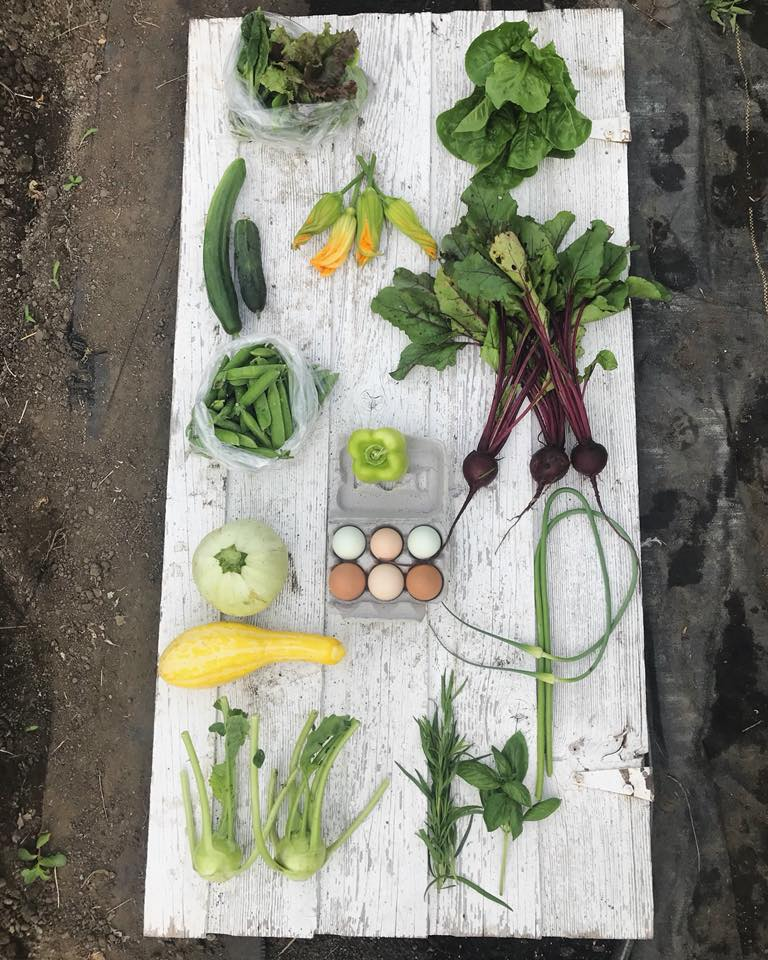 Week 5: Mixed Salad Greens, Romaine Lettuce, Slicing Cucumber, Pickling Cucumber, Squash Blossoms, Beets, Shell Peas, Bell Pepper, Eggs, Summer Squash, Garlic Scapes, Kohlrabi, Fresh Herbs