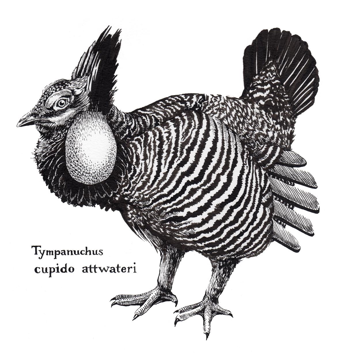 Attwater's Greater Prairie Chicken