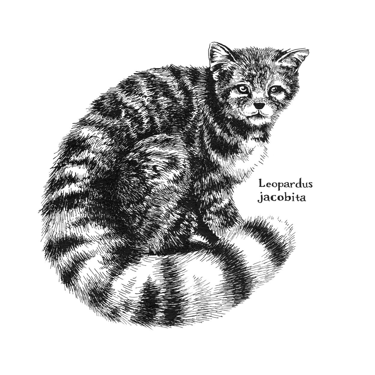 Andian Mountain Cat